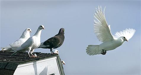 45 Brieftauben fielen Greifvögeln zum Opfer