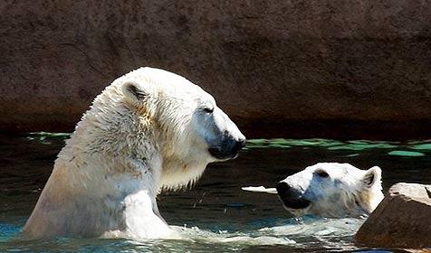 Eisbär nach Sturz in Graben mit Kran gerettet (Bild: AP)