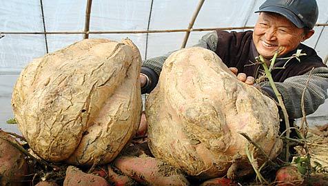 Chinesischer Bauer erntet riesige Kartoffeln