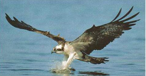 Seltener Riesenvogel hilft heimischen Fischern (Bild: Kronen Zeitung)