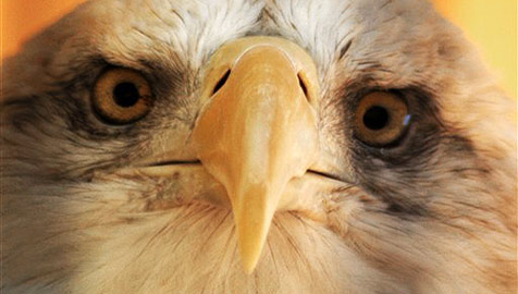 Adler aus Finnland macht Trip nach Nigeria