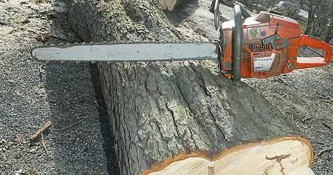 Gasleitung bedroht - alte Bäume müssen weg (Bild: Jürgen Radspieler)