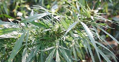 Cannabis-Plantage in Wohnung entdeckt (Bild: Polizei)