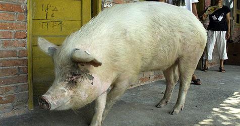 36 Tage verschüttetes Schwein ist Tier des Jahres