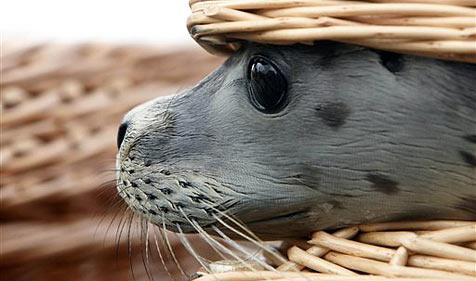 Kleine Robbe bricht in US-Fischzuchtstation ein