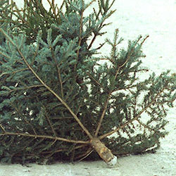 Linz AG sammelt 35.000 Weihnachtsbäume (Bild: APA/dpa/Uwe Zucchi)
