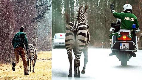 Ausgebüxte Zebras narren stundenlang Polizei