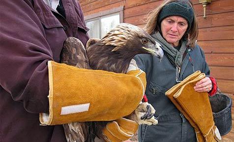 Adler durchschlägt die Frontscheibe eines Trucks