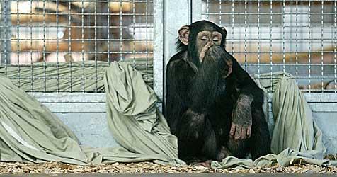 HIV-Schimpansen   dürfen nun doch in Gänserndorf bleiben (Bild: APA/Harald Schneider)