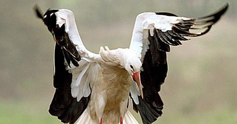 Storch mitten im Zentrum von Langenlois gelandet (Bild: APA/R. Waxmann/wax)