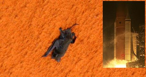 Die Reise von Fledermaus Brian ins All (Bild: NASA)