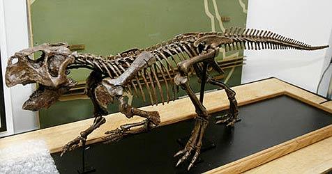 Dinosaurier-Skelett in New York zu ersteigern (Bild: AP)
