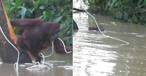 Orang-Utan-Weibchen durch Seilzuwurf gerettet (Bild: WWF/Engelbert Dausip)