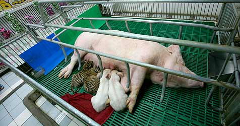 Schweine-Mama säugt hungrige Tigerbabys (Bild: EPA)