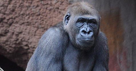 Gorilla schwingt sich mit Palmwedel aus Gehege (Bild: EPA)