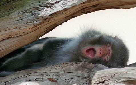 Aggressive Affen sollen Benimmschule besuchen