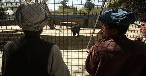 Afghanistans einziges Schwein in Quarantäne