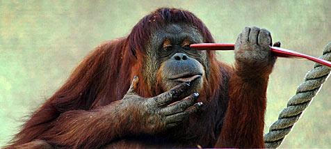 Orang-Utan schließt Elektrozaun kurz
