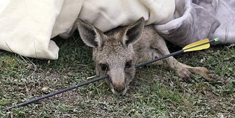 Australisches Känguru überlebte mit Pfeil im Kopf (Bild: AP)