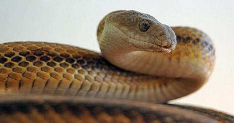 Schlange beißt Taiwanesen in seinen Penis (Bild: Wikipedia)