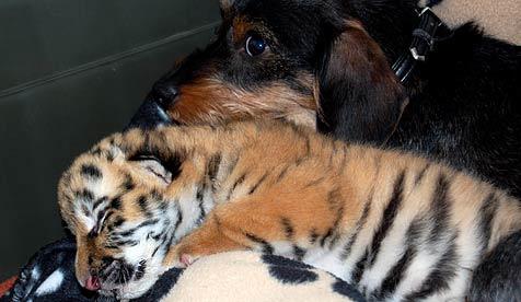 Dackelrüde adoptiert verstoßenes Tigerbaby (Bild: dpa/Tierpark Ströhen/A9999 Tierpark Ströhen)