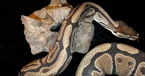 Einbrecher stehlen vier Pythons im Bezirk Korneuburg (Bild: EPA)