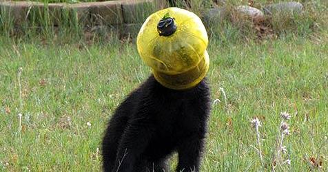 Bär benutzt Futterröhre als Kopfbedeckung