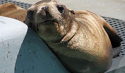 Baby-Seelöwe verirrt sich auf Autobahn - gerettet! (Bild: AP)