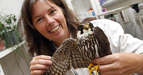 Geschwächter Falke stürzt in Garten ab (Bild: Markus Tschepp)