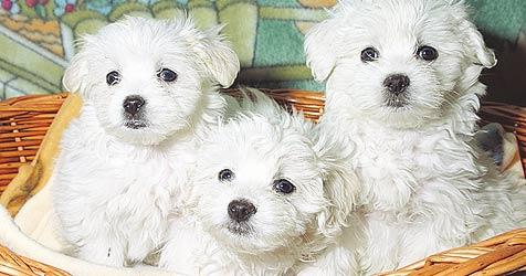 Hunde-Schmuggel ohne Strafe (Bild: Markus Tschepp)