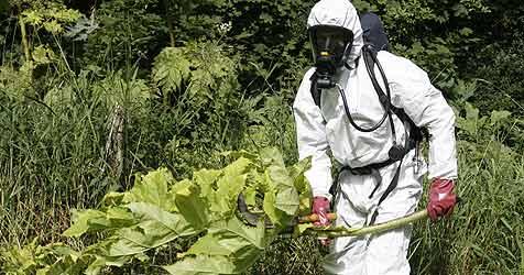 Linz kämpft gegen eingeschleppte Pflanzen (Bild: Kreuzer, Klaus)