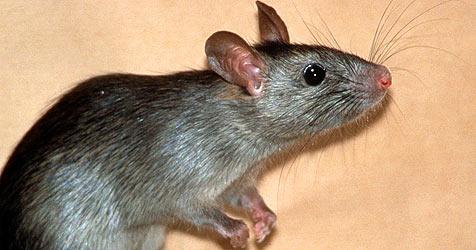 Gestank im Auto - verwesende Ratte gefunden