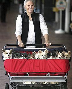 18 Chihuahuas in einem einzelnen Kinderwagen (Bild: ap)