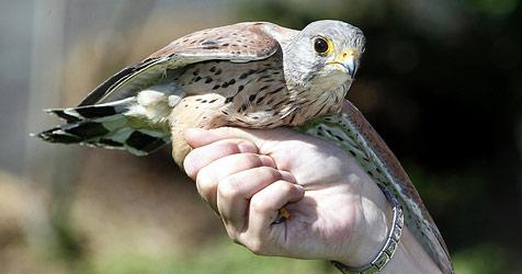 Wanderer fanden Falken mit verletztem Flügel (Bild: Markus Tschepp)