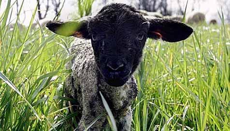 Tierquäler misshandelt Lamm im Genitalbereich (Bild: dpa/dpa-Zentralbild/Z5456 Arno Burgi)
