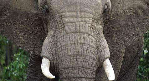 Elefant soll Frau mit Stein beworfen haben