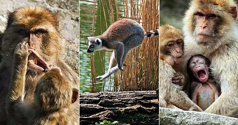 Die besten Affenfotos des Tiergartens Schönbrunn (Bild: APA/FRITZ DWORAK/ALOIS LUKSCH/HERBERT SCHLECHTA)