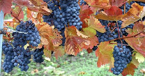Lecker, lecker - Weinanbau boomt im Land ob der Enns (Bild: Privat)
