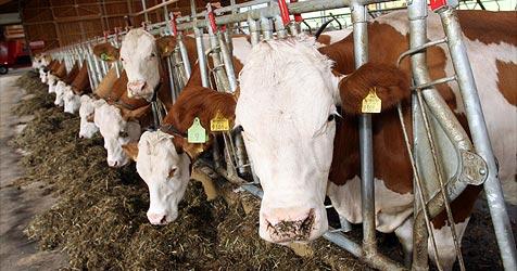 Pensionist von rabiater Kuh attackiert (Bild: Jürgen Radspieler)