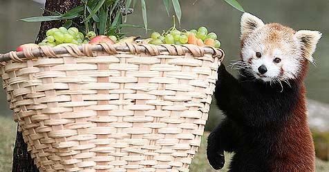 Zwei kleine Rote Pandas für den Hellbrunner Zoo (Bild: Andreas Tröster)