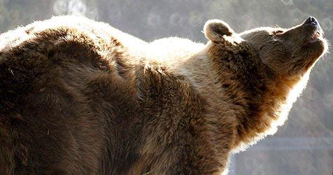 Hungriger Bär stürmt russische Betriebskantine