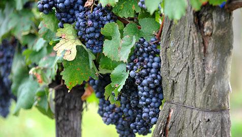 Weinviertel lockt mit Themen- und Kellergassenfesten (Bild: APA/BARBARA GINDL)