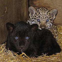 Zwei Jaguar-Babys entdecken die Welt im Salzburger Zoo (Bild: APA/Zoo Salzburg)
