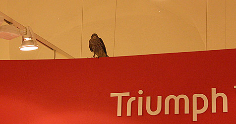 Tullner Feuerwehr rettete verirrten Falken aus Boutique (Bild: Stadtfeuerwehr Tulln)