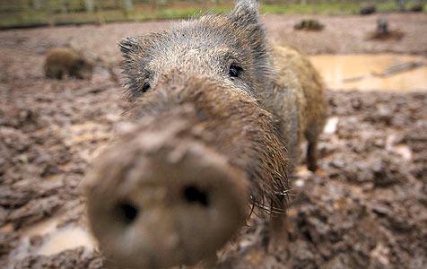 Wanderer flüchten vor Wildschweinen in Mülltonne