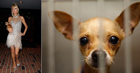"Tierheime stöhnen wegen des ""Paris-Hilton-Syndroms"" (Bild: Vioennareport (1), AFP (1))"