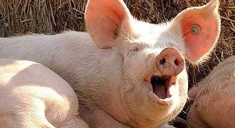 Schweinefleisch-Transporter spurlos verschwunden (Bild: dpa/dpaweb/dpa/Wolf-Dietrich Weissbach)