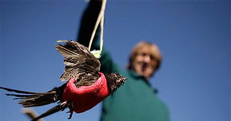 Mauersegler lernt mit Brustgeschirr wieder fliegen