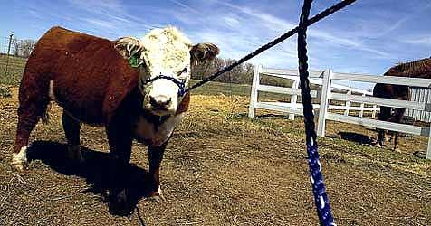 Bauer auf Weide von Stier attackiert und getötet (Bild: Archiv (Symbolbild))