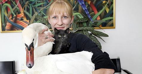 Schwan schluckt Angelhaken - im Tierheim gerettet (Bild: Markus Tschepp)